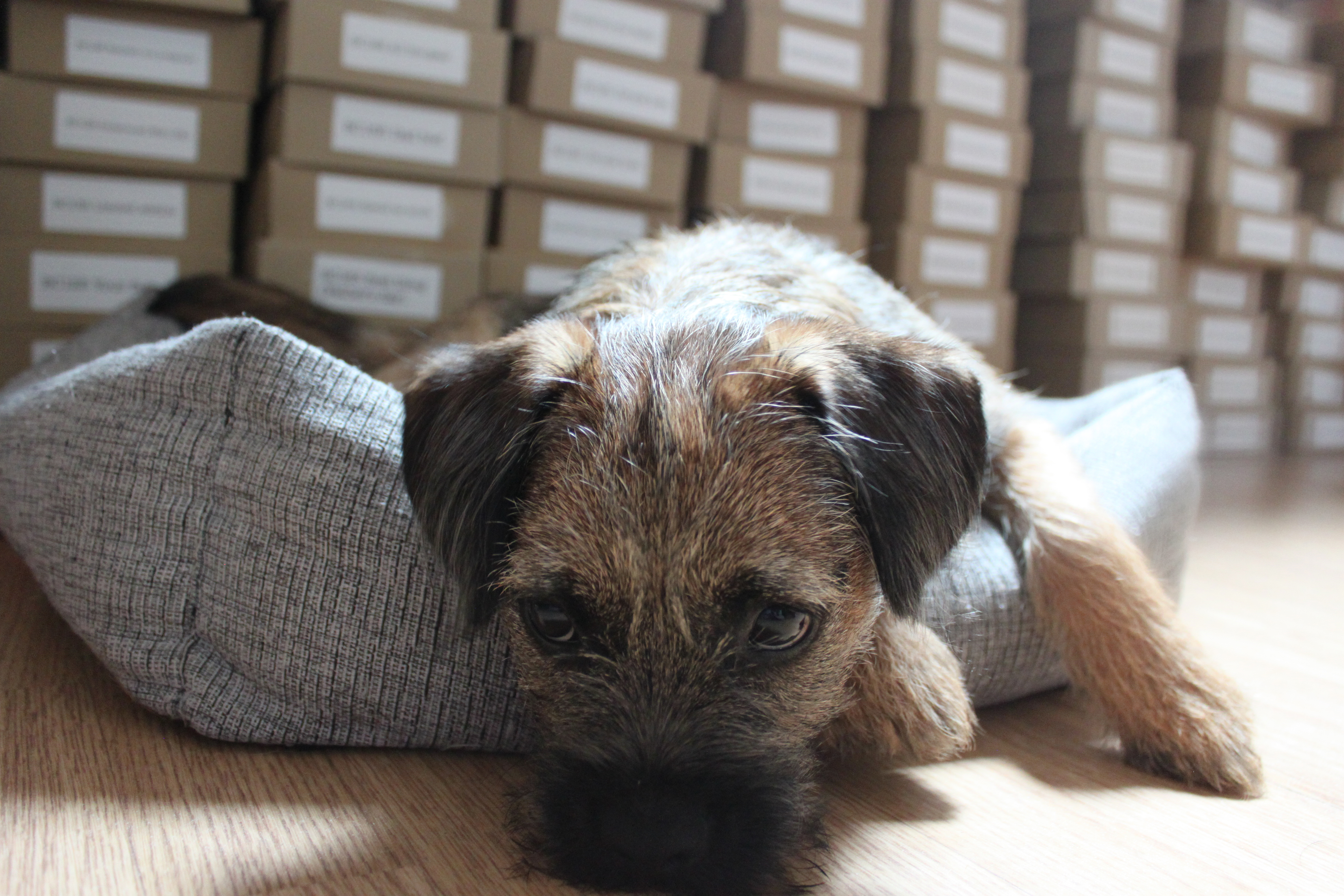 Fast forward to three years later and the only pitter patter of tiny feet in our house are those of our Border Terrier puppy Obi.