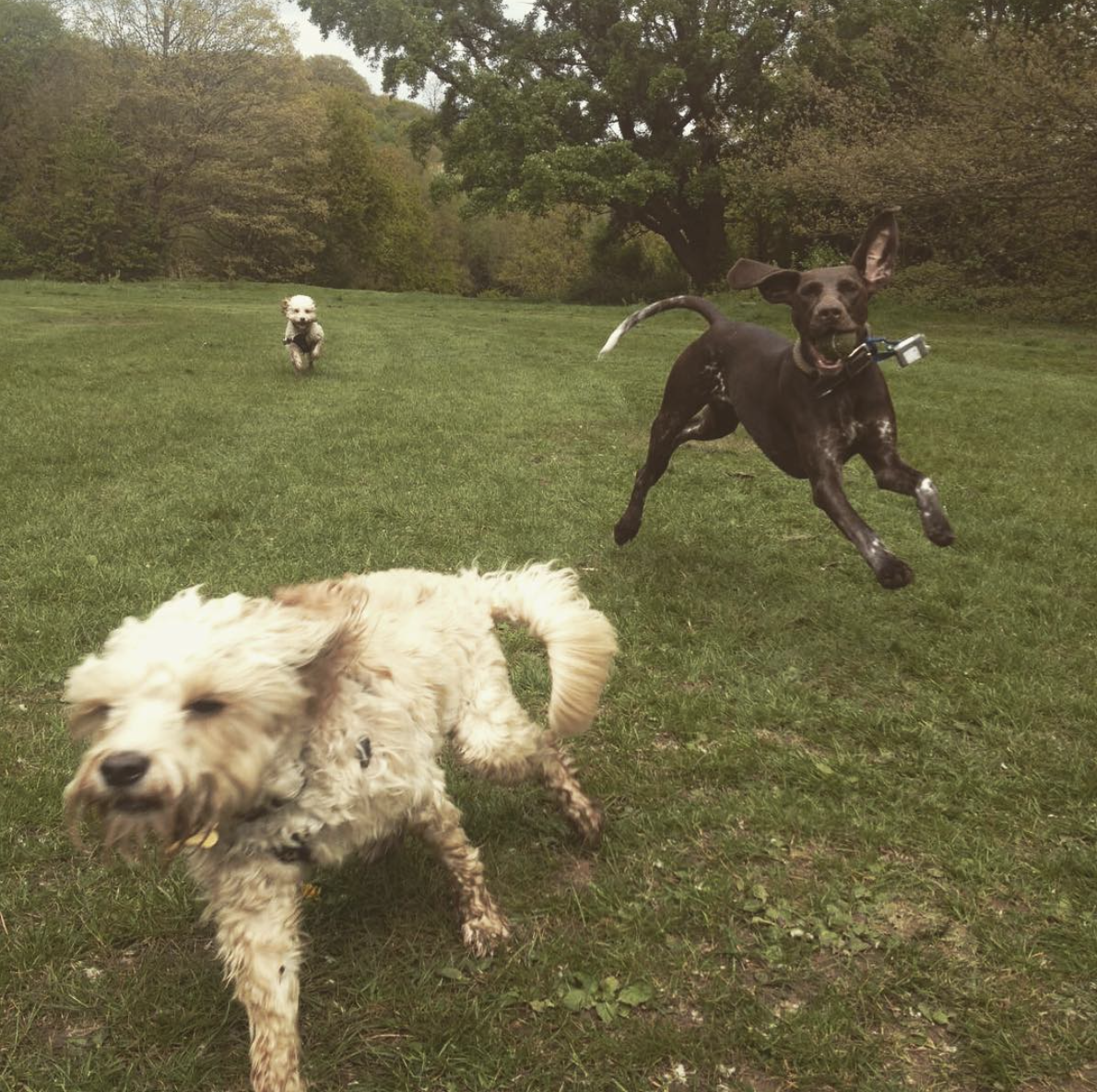 Dogs chasing each other.