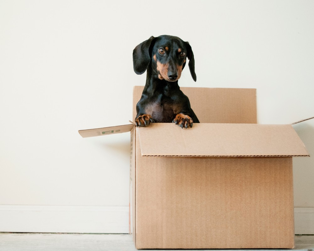 Dog in removals box